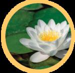Mindfulness-Based Stress Reduction lotus flower
